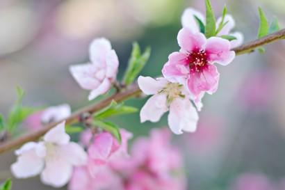 Peach Tree in Spring via Kate Eschbach Photography